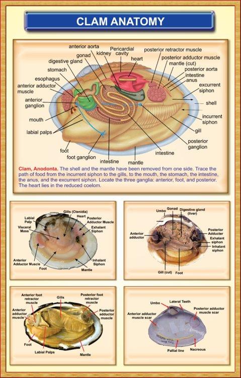 Clam Anatomy Iqbal Scientific Store