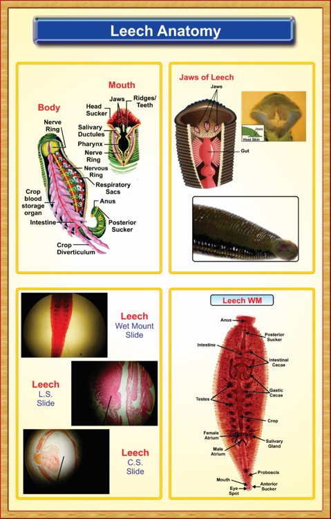 Leech-Anatomy – Iqbal Scientific Store