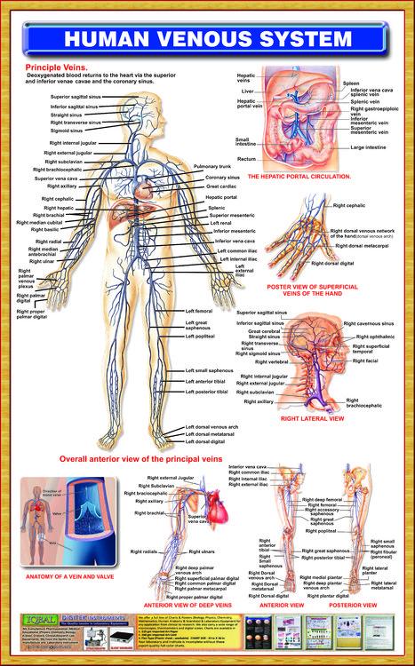 Human Venous System Iqbal Scientific Store